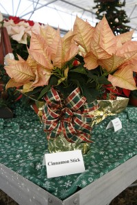 Cinnamon Stick Poinsettia