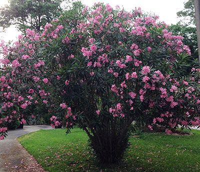 Oleander shrub with pink flowers