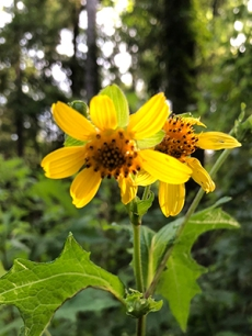 The yellow, daisy-like flowers of hairy leafcup