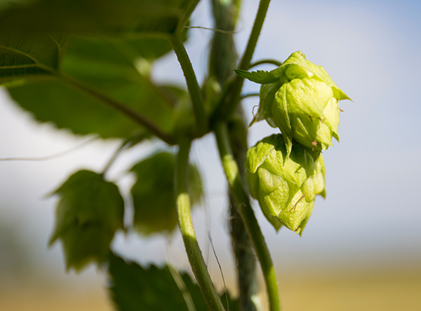 Two light green hops cones on the vine