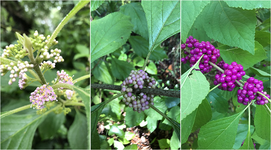 Three photos showing the progression from flowering to fruit that starts all pale lavender to bright purple.
