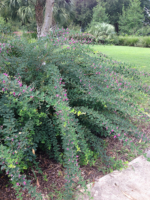 Shrub with long arching branches covered in small green leaves and purple flowers.