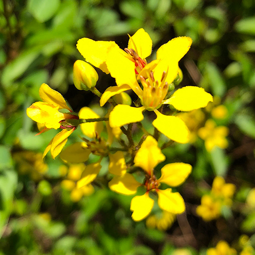 Small, bright yellow flowers in a cluster each with five distinct petals