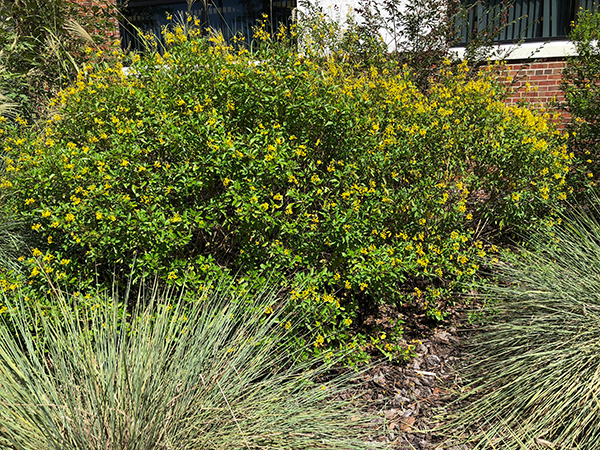 A large shrub covered in small yellow flowers in front of a brick building with tufts of ornamental grass in front of it.
