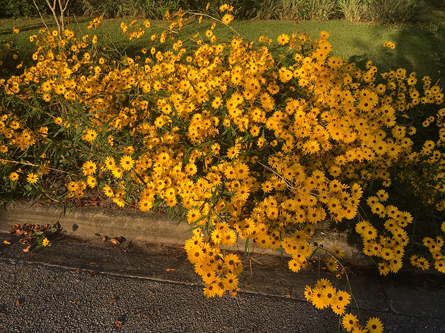 A mass of yellow daisy like flowers growing curbside.