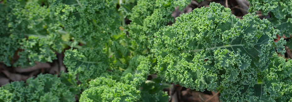 Curly leafed kale in a mulched bed, by Caraline Stephens, UF/IFAS