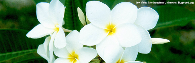 White frangipani blooms this month in South Florida